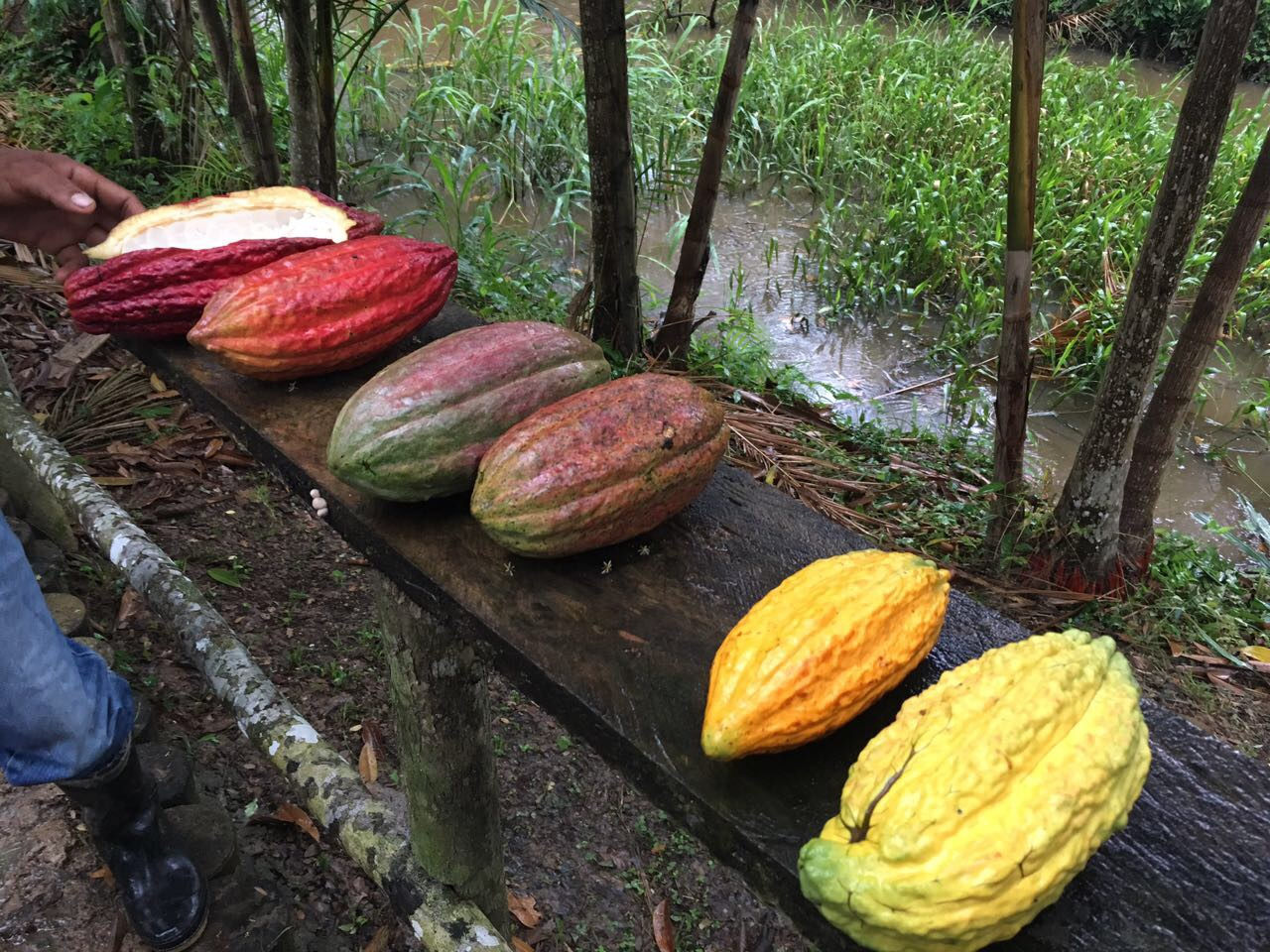Cocoa for peace: Cocoanect sources fine flavour cocoa in conflict